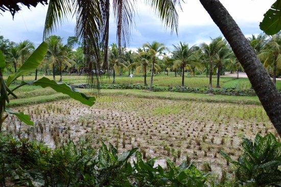 Chalong, Thailand: Rizière