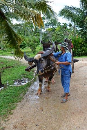 Chalong, Tayland: Buffles