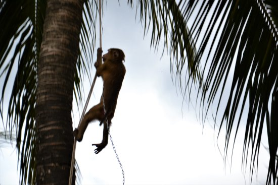 Chalong, Tayland: singe dans son cocotier