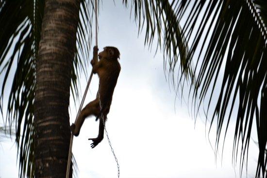 Chalong, Thailand: singe dans son cocotier