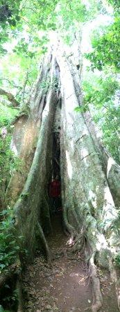 Santa Elena, Costa Rica: Strangler tree or Ficus Tree