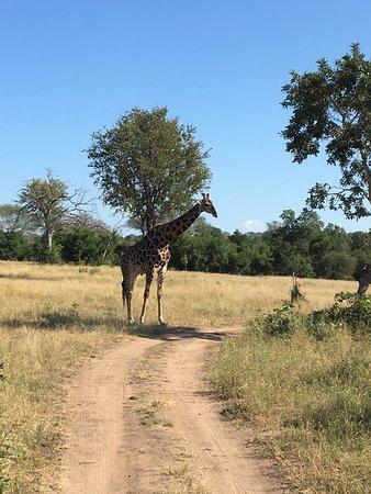 Notten's Bush Camp: Giraf