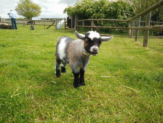 Kington, UK: Inside the pygmy goat paddock.