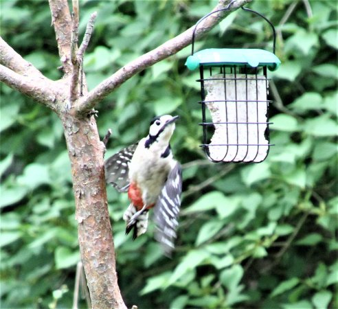 Weeting, UK: My first sighting of a spotted woodpecker. Kids will love this !