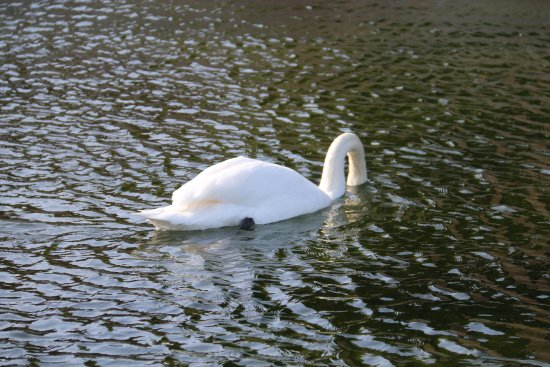 King's Lynn, UK: swan enjoying a dip