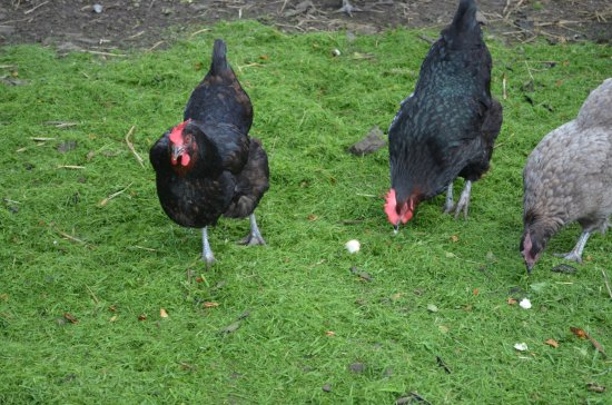 Llanedi, UK: Eggs from our free range hens served at breakfast