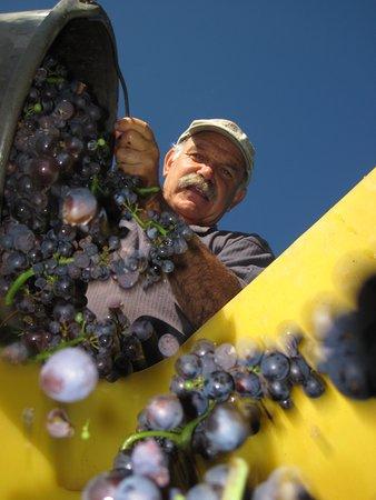 Wintzenheim, Γαλλία: récolte du Pinot Noir destiné à l'élaboration de notre Crémant rosé