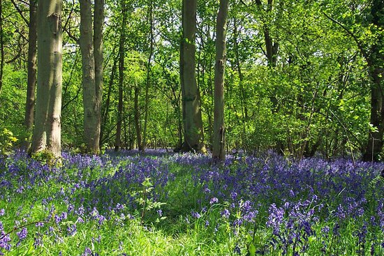 Corsham Field Farmhouse: Bluebells in Oddington