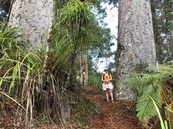 Okaihau, Nieuw-Zeeland: An example of the size of the Kauri trees!