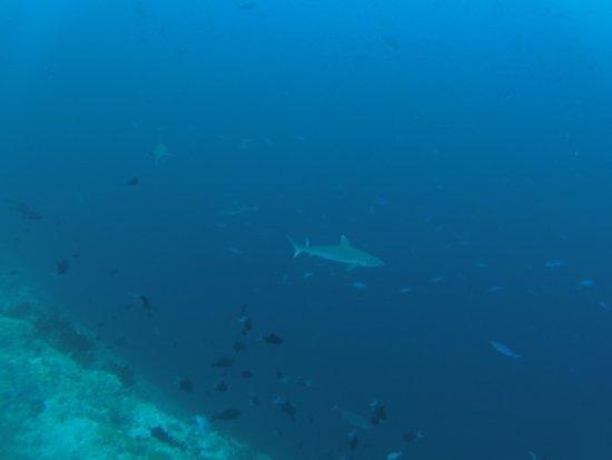Hulhumale: un des nombreux requins rencontrés lors de nos plongées.
