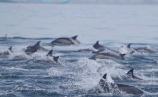 Port Elizabeth, Sør-Afrika: A close up of just a small group of the hundreds of common dolphins
