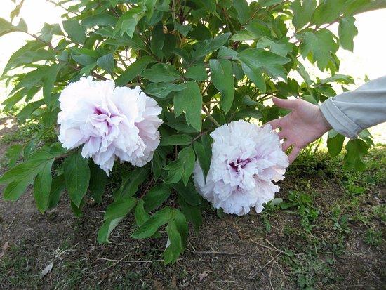 Grande Fiore Con Petali Arricciati Picture Of Moutan Botanical