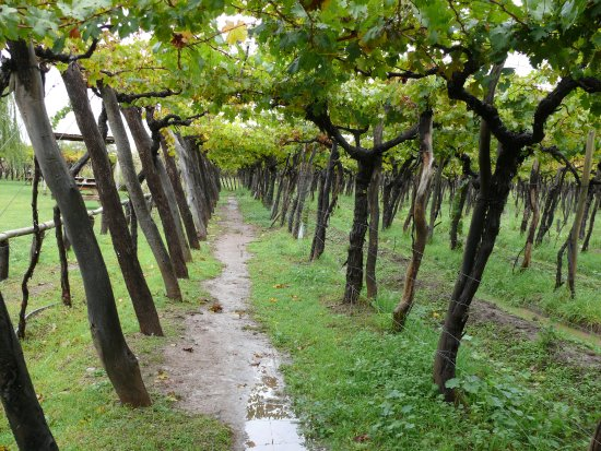 Kaiken Winery: viñedos