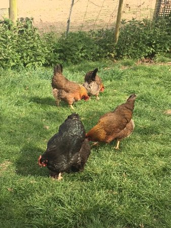 Field Farm Cottage: Field Farm chickens!