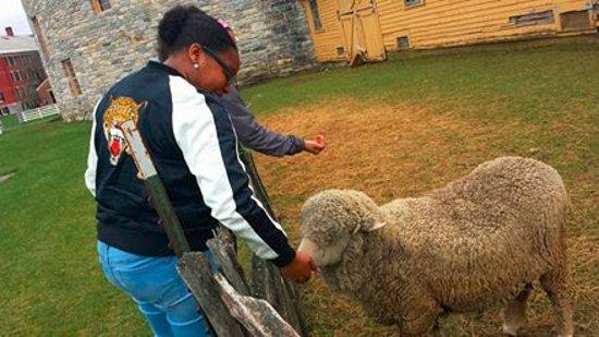 Pittsfield, MA: Feeding the sheep!