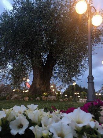 Gallicano nel Lazio, Italy: Ulivo