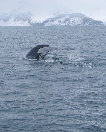 ฮูสาวิก, ไอซ์แลนด์: blue whale