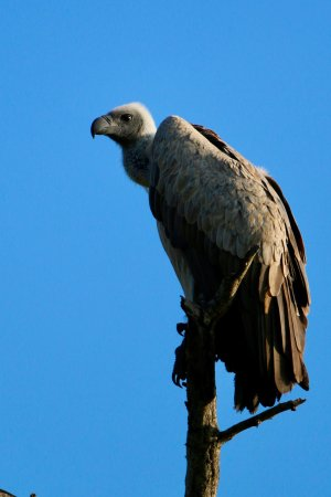 bald-headed-vulture-waiting.jpg