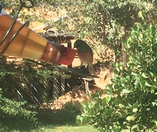 """Citrusdal, Sudáfrica: Les oiseaux boivent du """"thé"""" rooibos..."""