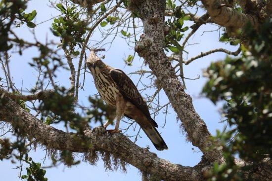 Tissamaharama, Sri Lanka: Eagle
