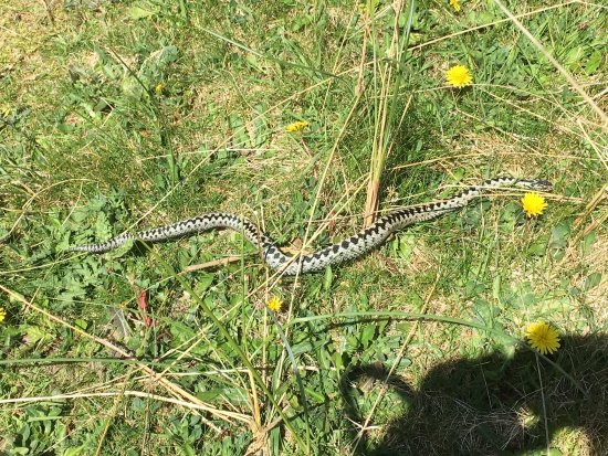 Borth, UK: Adder in the sand dunes