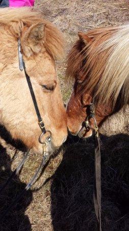 Mosfellsbaer, Islandia: Beautiful new friends