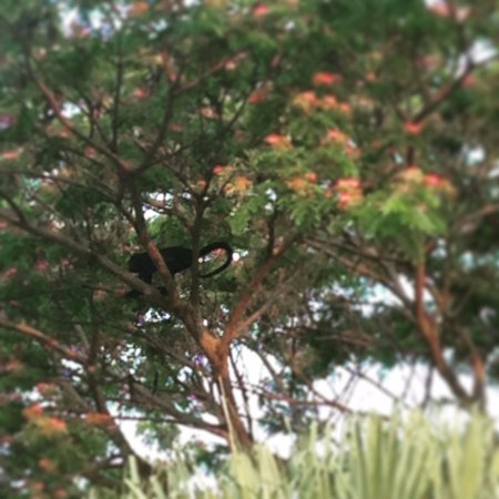 Hotel La Puerta del Sol: Howler monkey on property as seen from the suite