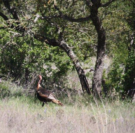 Hunt, Teksas: Rio Grande Turkey