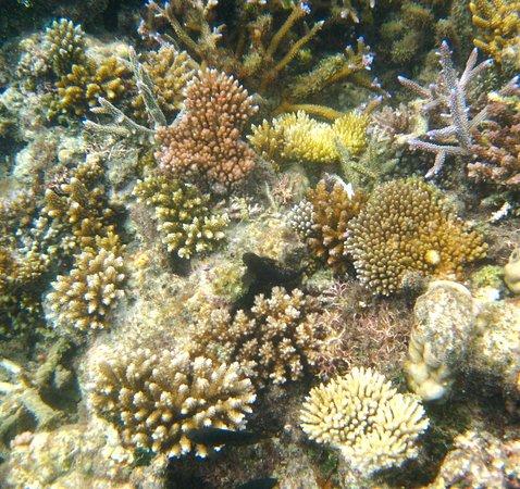 Lawaki Beach House: New baby corals on Lawaki reef