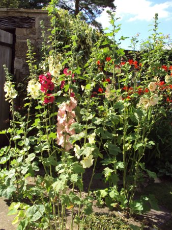 Northleach, UK: Some favourite hollyhocks