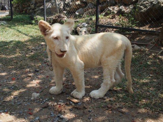 Pak Chong, Thailand: 5 month old lion cub