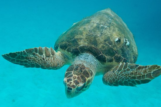 Placencia, Belize: Turtle