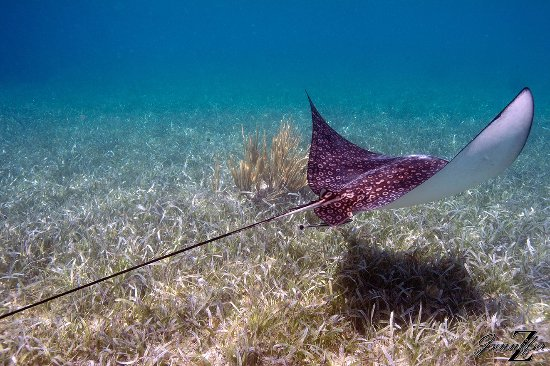 Placencia, Belize: Spotted Eagle Ray