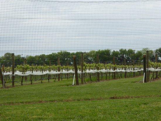 Charles City, VA: Vines