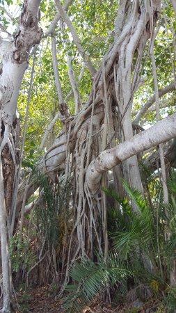 Jensen Beach, FL: Banyan Tree