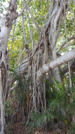 Dolphin Bar & Shrimp House: Banyan Tree