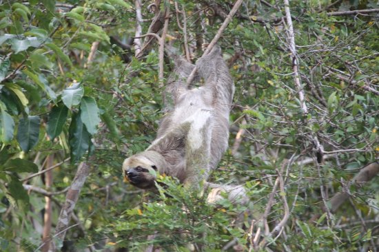 Careiro, AM: Sloth see on a trip with Mocinho, Dolphin Lodge