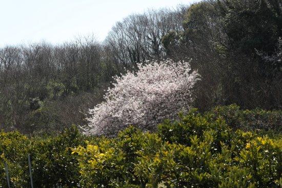 Mihara, Japón: 今年は咲くのが遅かった