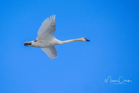 Teslin, Canada: Our lodge is the perfect viewing spot for migrating swans. Come enjoy a coffee while you bird wa