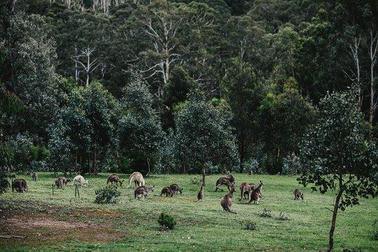 Kangaroos in abundance - Yering Gorge Cottages