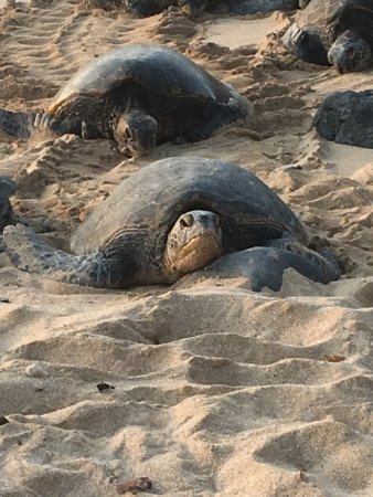 Paia, HI: Green sea turtles
