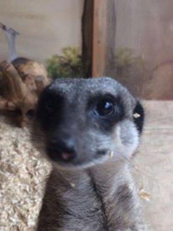 Stretham, UK: Meerkat