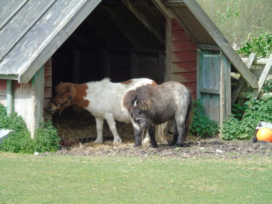 The Isle of Wight Donkey Sanctuary : Shetland ponies are rescued too.