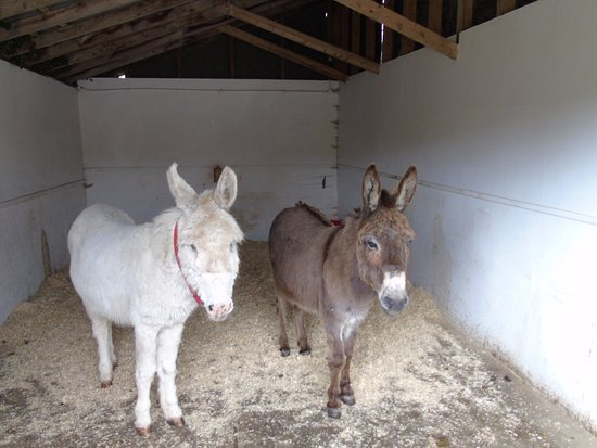 The Isle of Wight Donkey Sanctuary : Recovering donkeys well cared for.