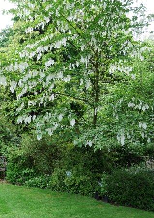 Chorley, UK: Handkerchief Tree