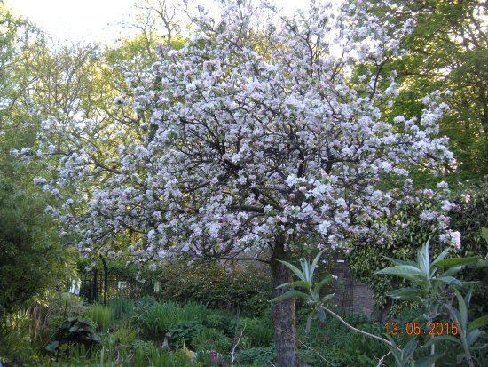 Chorley, UK: Apple Blossom time in the Walled Orchard Garden