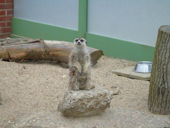 Newport, UK: Meerkat on watch