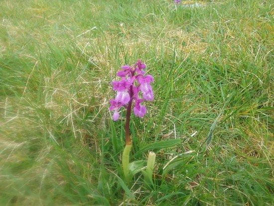 County Clare, Irlandia: Wild orchid