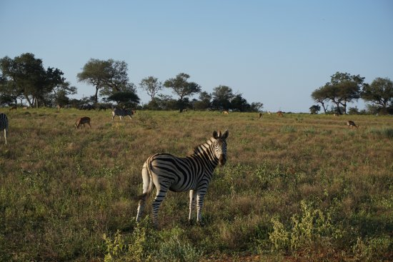Hoedspruit, Νότια Αφρική: Zebras during the Safari Tour
