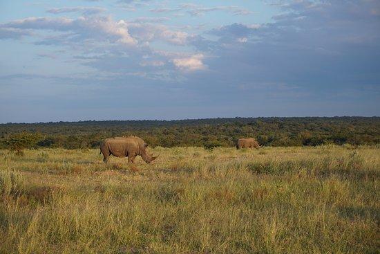Hoedspruit, Νότια Αφρική: Rhinos during the Safari Tour